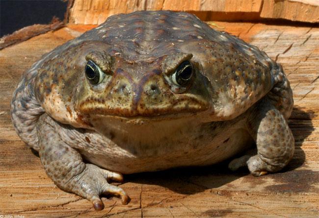 Австралийские жабы расселяются по континенту