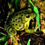 Лающая лягушка (Craugastor Augusti)
