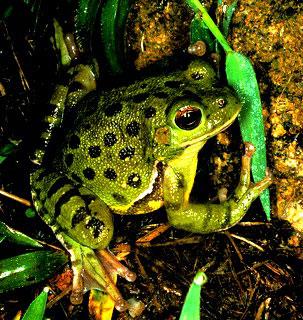 Лающие лягушки Аризоны