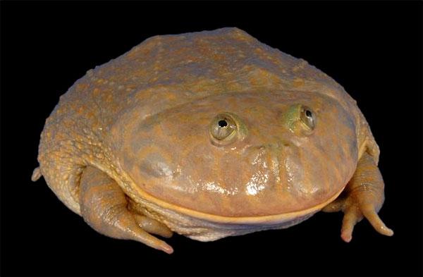 Lepidobatrachus
