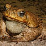 Размножение жабы-аги в неволе