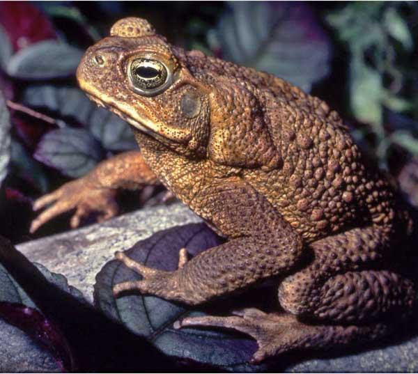 Яд жабы ага используется в борьбе с раковыми опухолями