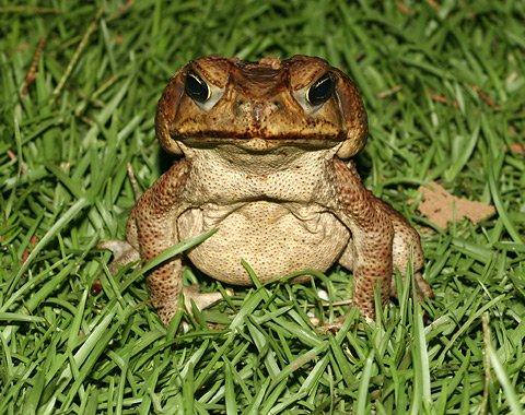 Австралийские жабы едят все, что движется