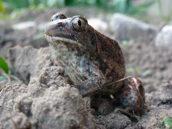 Земляная лягушка