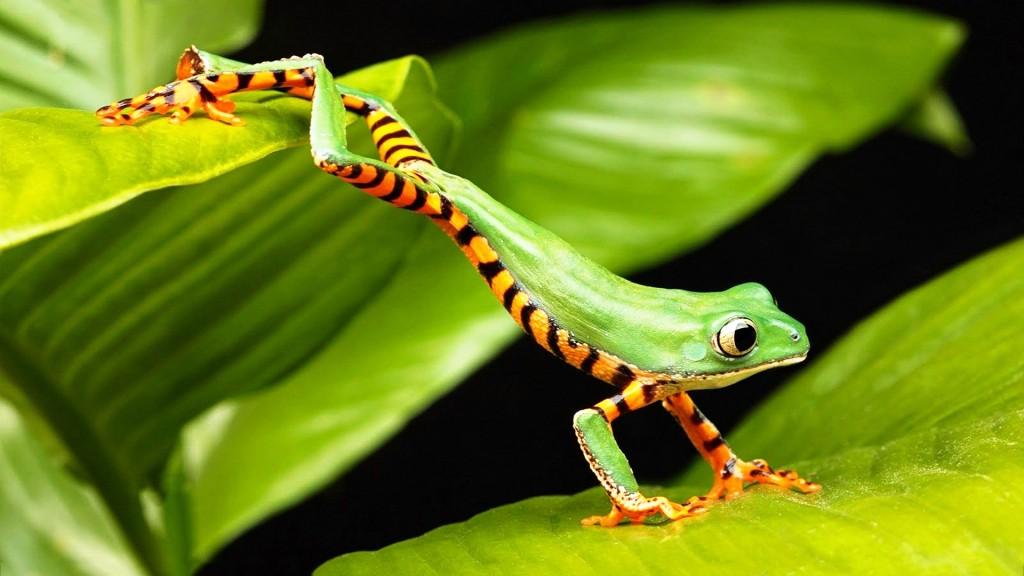 Древесные лягушки