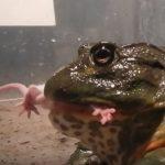 Лягушки и жабы едят мышей