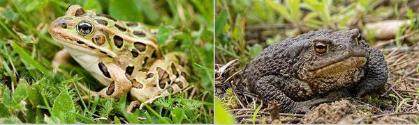 Сравнение лягушек и жаб