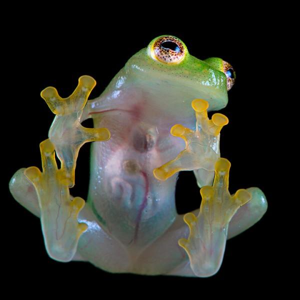 Стеклянная лягушка влажных тропиков