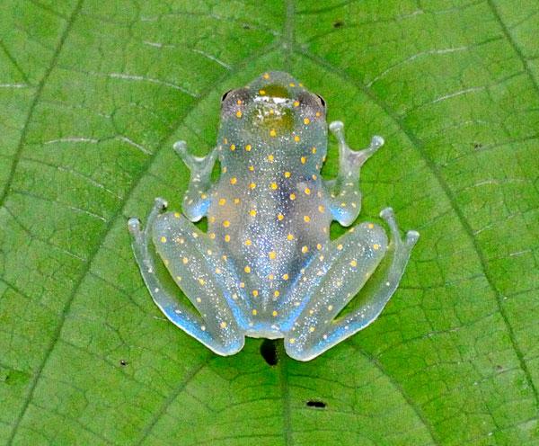 Трудно заметить полупрозрачную лягушку на листе