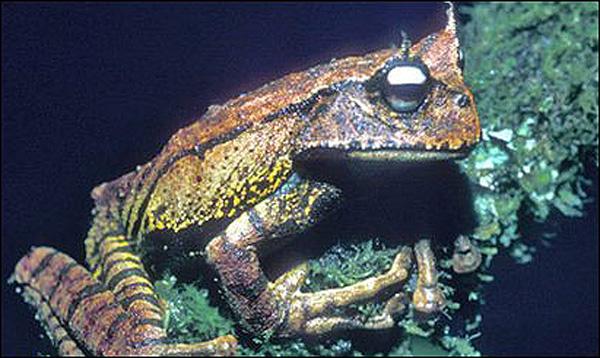 Лягушка с зубами на верхней и нижней челюстях