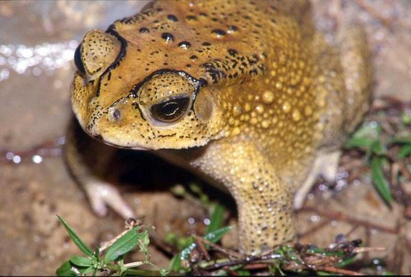 Азиатская жаба на Мадагаскаре