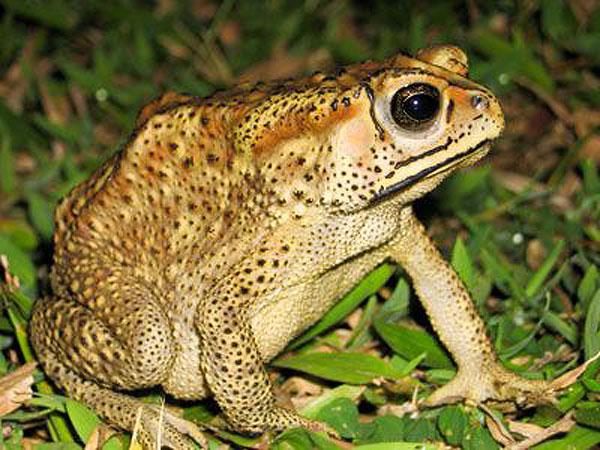 Азиатская жаба в Туамасине
