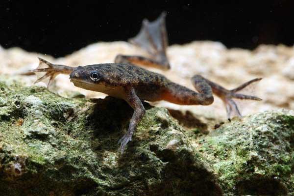 Карликовые лягушки в аквариуме » Жаба Кваба