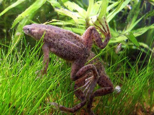 маленькие водяные лягушки