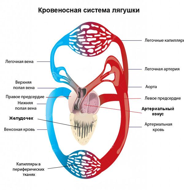Структура кровеносной системы лягушки