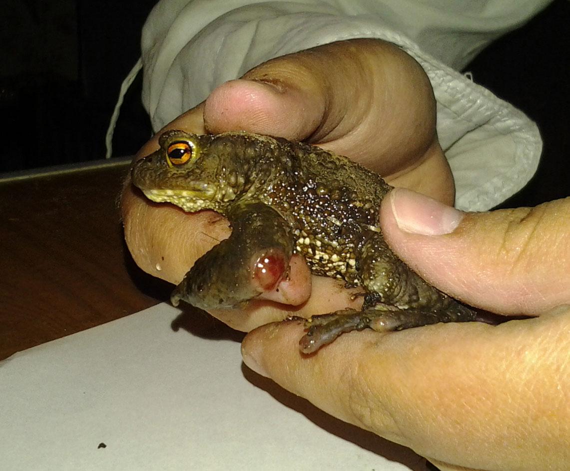 Раненая жаба Bufo bufo