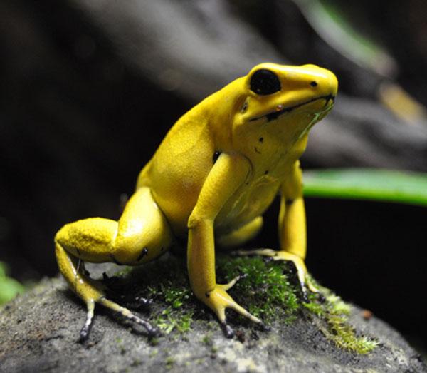 Листолаз ужасный - самая ядовитая лягушка