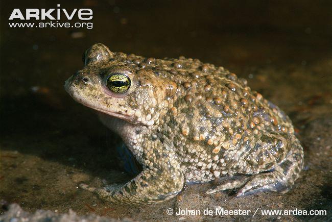 У камышовых жаб мало врагов