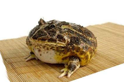 Лягушка Пакман или рогатка