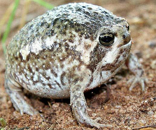 Южно-Африканская Дождевая лягушка