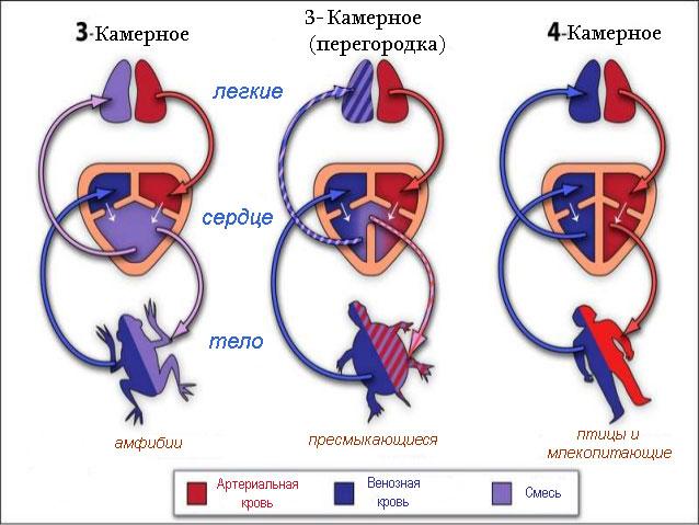Отличия кровеносной системы амфибий
