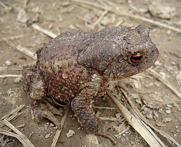 Серая земляная жаба