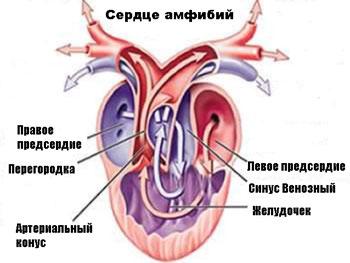 Сердце амфибии