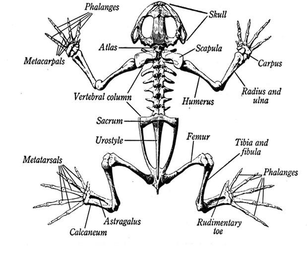 Наименование частей скелета