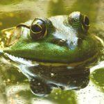Среда обитания жаб и лягушек
