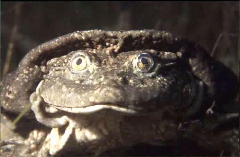 Лягушка озера Титикака