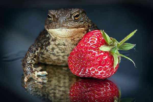 Едят ли жабы и лягушки клубнику?