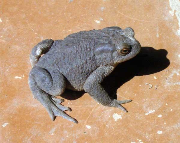 Ядовитые железы серой жабы