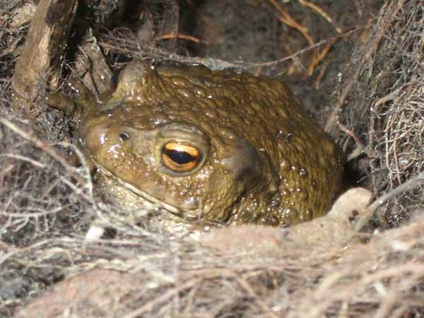 Жаба в укрытии